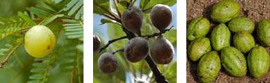 triphala-plant